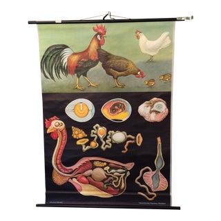 Jung-Koch-Quentell Chart Chicken