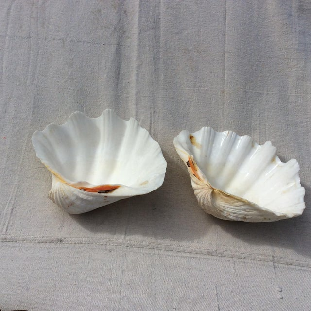 Two Large White Sea Shells - Image 8 of 8