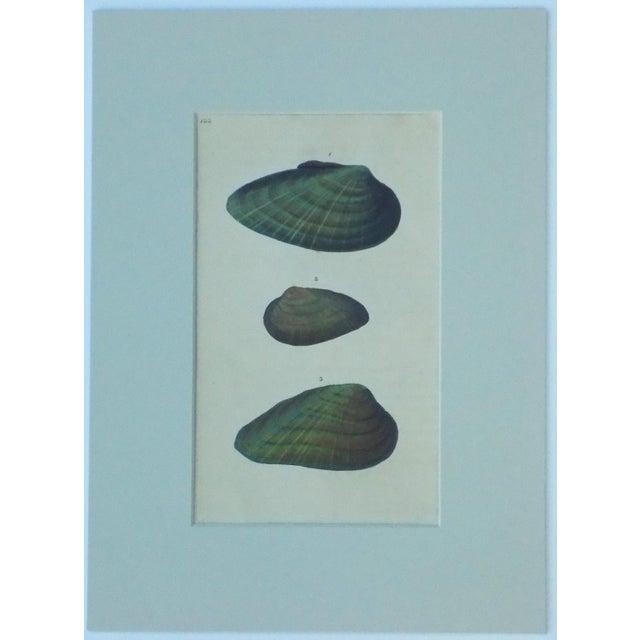 Original Green Mussel Engraving C. 1803 - Image 4 of 4