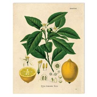 Botanical Lemon Citrus Fruit Print Poster