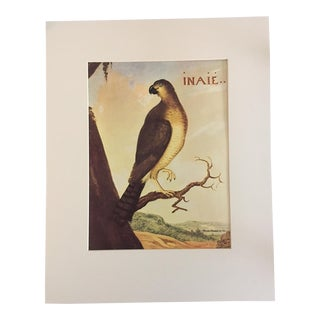 "Albert Eckhout's Roadside Hawk - 1970s Print of 1644 Painting From ""Birds of Brazil"""