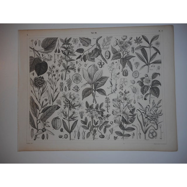 Antique Botanical Engravings - a Pair - Image 3 of 4
