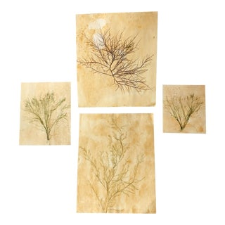 Blackwell Botanicals Natural Pressed Green Seaweed, Set of 4