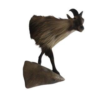 Vintage Himalayan Tahr Taxidermy Goat