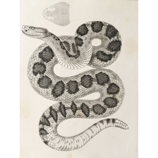 Antique California Rattlesnake Lithograph - Image 3 of 6