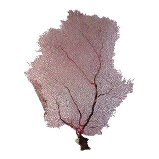 Light Pink & Yellow Bahamian Sea Fan