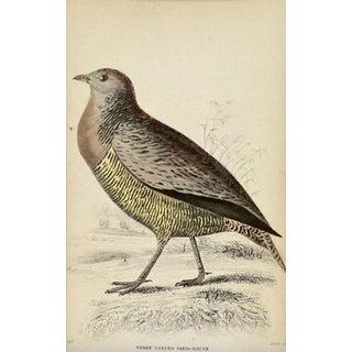 Antique Sir William Jardine Sandgrouse Engraving