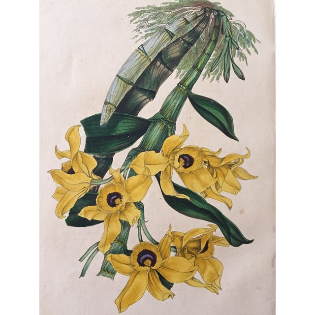 Image of Antique Orchid Flowers 19th Century Lithograph