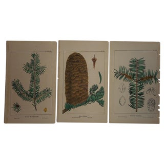 Antique North American Tree Lithographs- Set of 3