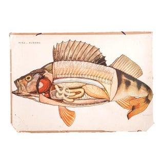 Vintage School Fish Diagram