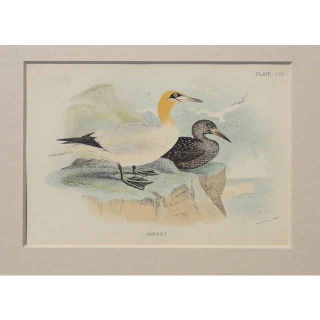 Image of 1890 Antique Gannet Chromolithograph