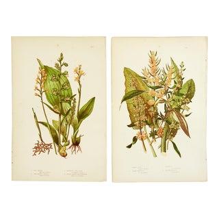 Antique Botanical Lithographs - A Pair