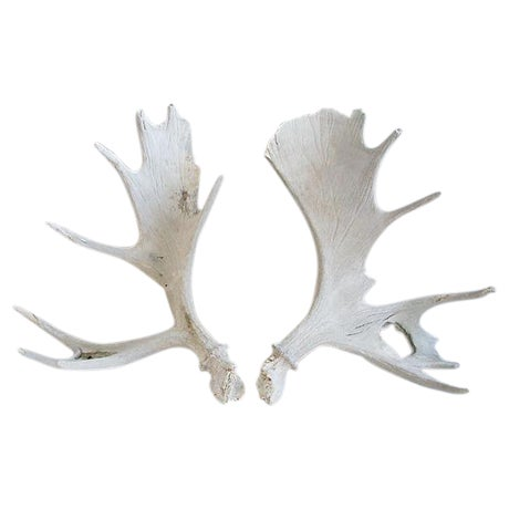 Large Naturally-Shed Moose Antlers - A Pair - Image 1 of 8