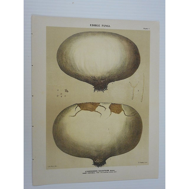 Antique Mushroom Lithographs- Set of 3 - Image 4 of 5