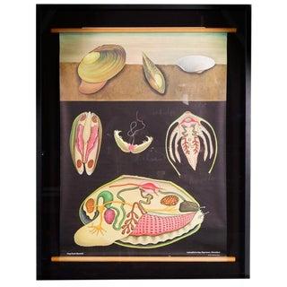Jung Koch Quentell - Framed Zoology Chart 'Pond Mussel'