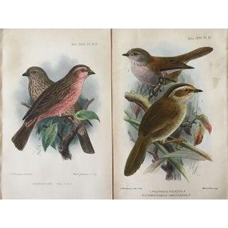Antique Ornithological Prints - A Pair