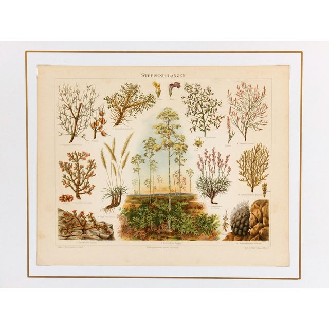 Semi-Arid Plants Antique Lithograph C. 1885 - Image 3 of 3
