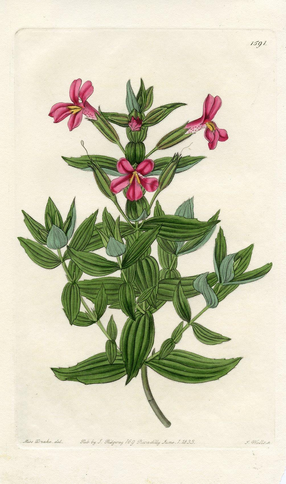 Image of Botanical Print - Monkeyflower, 1833