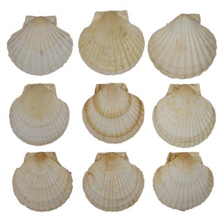 French Coastal Scallop Shells - Set of 9