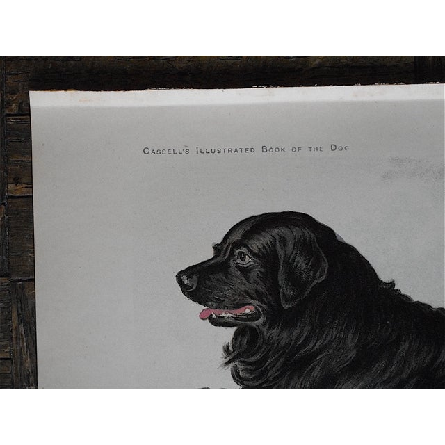 Antique Dog Lithograph - Newfoundland - Image 3 of 5