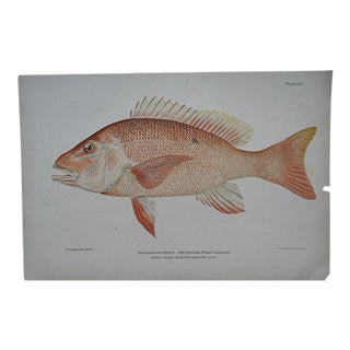 Antique Fish Chromolithograph - Red Snapper