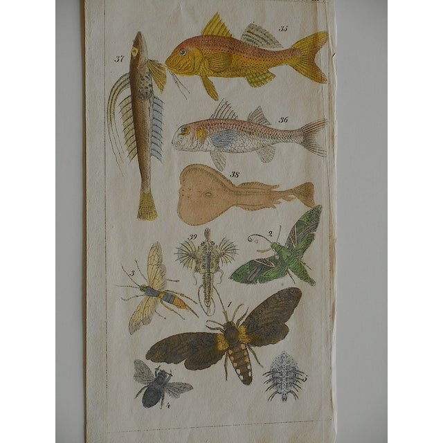 Antique Fish & Insect Engravings C.1700 - A Pair - Image 3 of 3