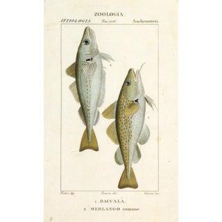 Freshwater Fish Engraving Print, C. 1830