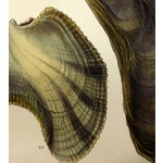 Image of Antique 1878 Sea Shells Oyster Print