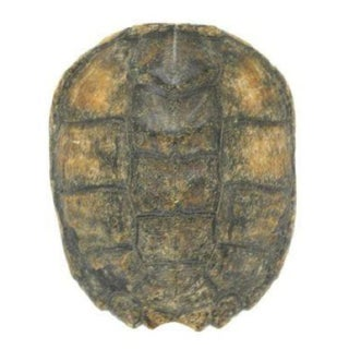 Decorative Natural Turtle Shell