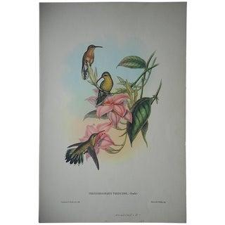 Vintage Gould Hummingbird Lithograph