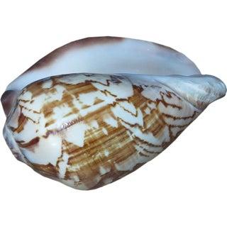 Decorative Strombus Luhuanus Sea Shell