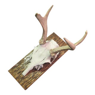 White Tail Deer Mount on Stained Tree Board