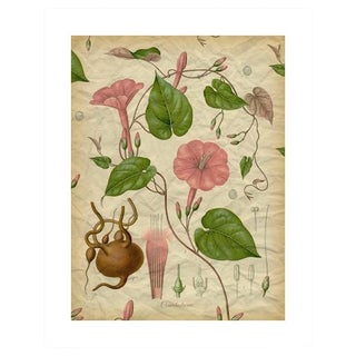 Archival 'Pink Morning Glory' Antique Print
