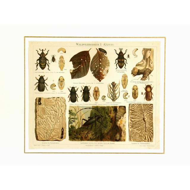 Antique 1894 Beetles Insect Print - Image 3 of 3