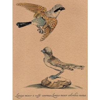 Shrike Hand-Colored Etching