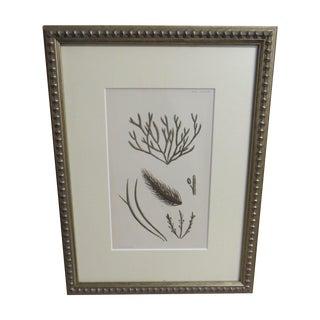 1880s Seaweed Engraving