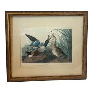 """""""Shoveller Duck"""" Framed Print by Framed Audubon"""