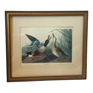 """Shoveller Duck"" Framed Print by Framed Audubon"