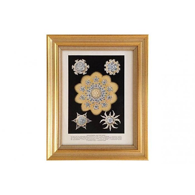Image of Antique Starfish Lithograph by Haeckel
