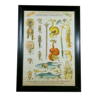 Large French Framed Chart of Copepods Parasites by Remy Perrier circa 1920