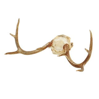 Whitetail Deer Antler Rack