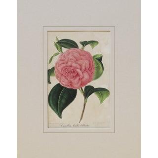 Verschaffelt 1854 Alberto Camellia Print