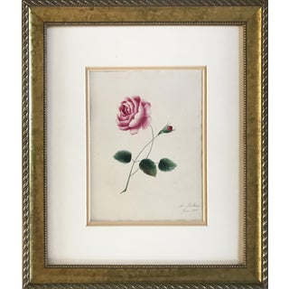 Antique Rose Botanical Watercolor Painting 1836