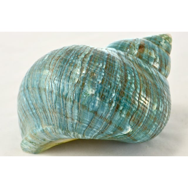 Turquoise Turbo Sea Shell - Image 4 of 5