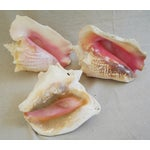 Image of Natural Conch Seashells - Set of 3