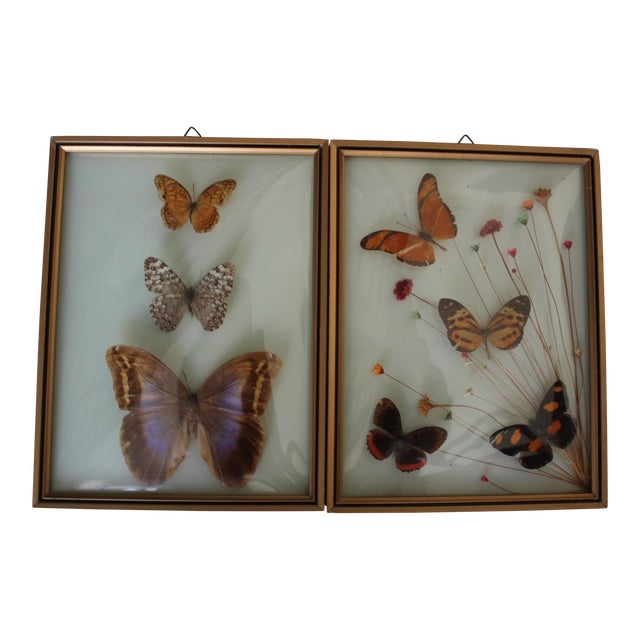 Mid-Century Butterfly Specimens - A Pair - Image 1 of 3