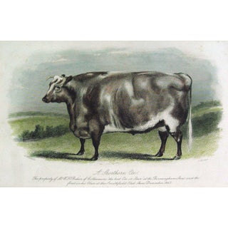 Shorthorn Ox, 1864 Etching