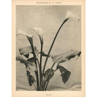 1904 Vintage Botanical Calla Lily Art Photograph