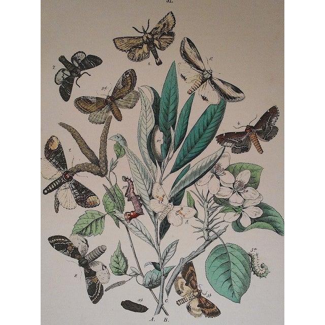 Antique Chromolithograph Butterflies/Moths - Image 3 of 3