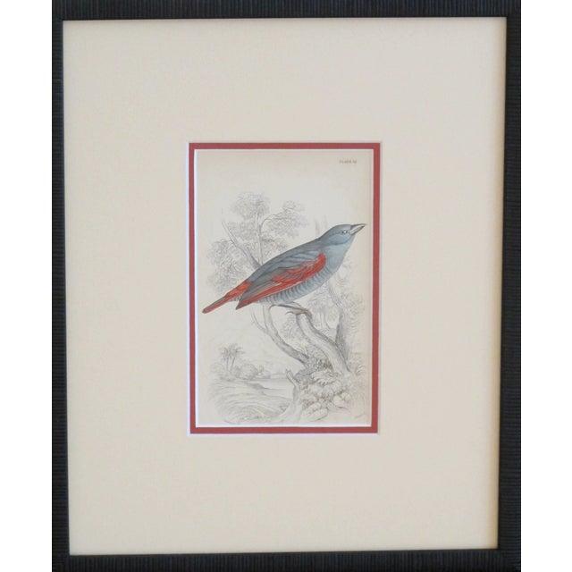 RESERVEDFramed Vintage Bird Print - C.1850/Redwing - Image 1 of 2
